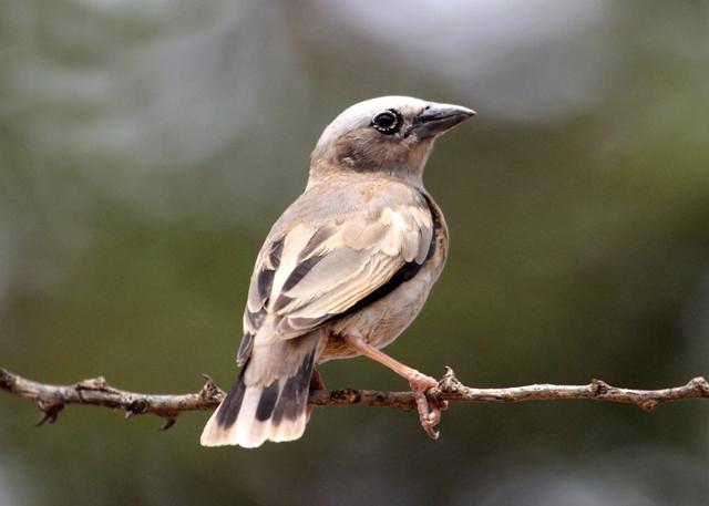 Magadi Road Birding