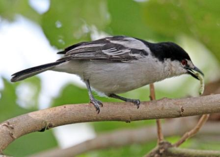 Ngong Road Forest Birding
