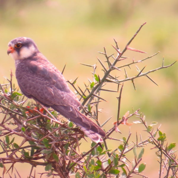 Kenya Birdwatching tour
