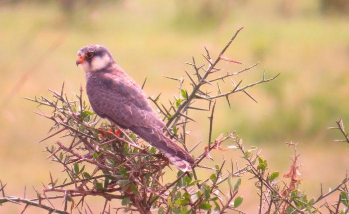 Kenya Birdwatching tour