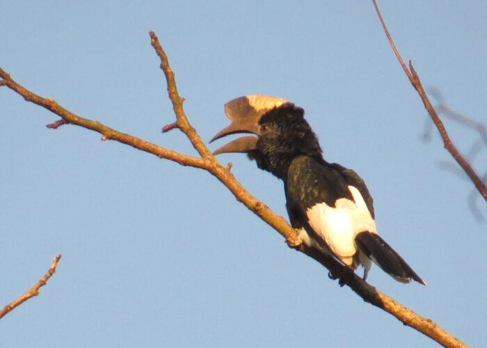 Birding Kakamega Forest