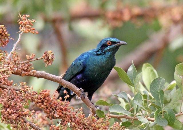Kongelai Escarpment Birdwatching